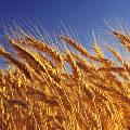 Цены на пшеницу растут на фоне событий на Украине
